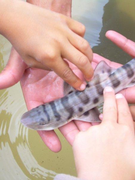 Zebra Shark | Animal Wildlife  |Leopard Shark Babies