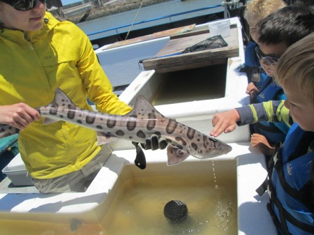 Leopard shark caught on our ship