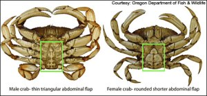 dung_male_female_crab