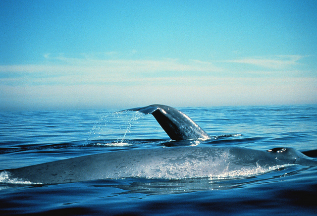 Blue whales on the surface. California, Gulf of the Farallones NMS   Photographer: Dan Shapiro. NOAA photo library