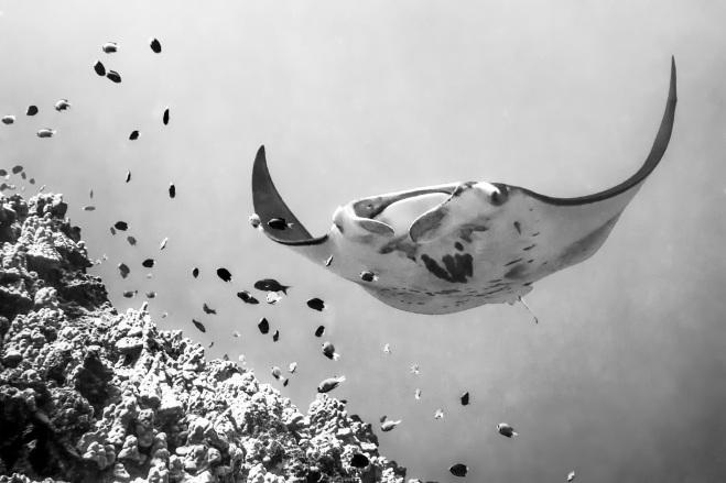 Manta ray-john cooney