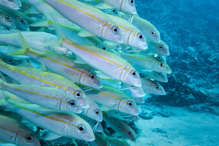 yellownfin goat fish-john cooney