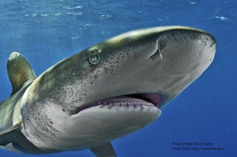 oceanic-whitetip-shark- Credit Copyright Brian Skerry