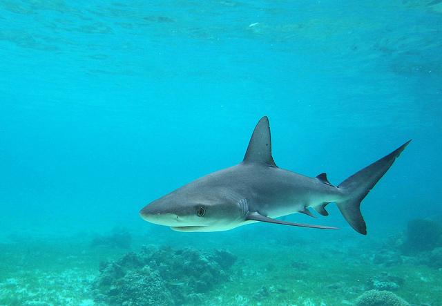 Galapagos shark John Turnbull