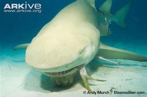 Lemon-shark  Andy Murch