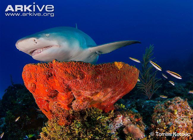 Lemon Shark Tomas Kotoug Arkive