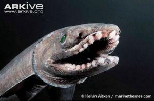 Frilled-shark-Kelvin Aitken Arkive