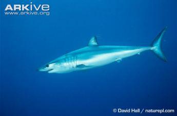 Shortfin-mako-David Hall Arkive