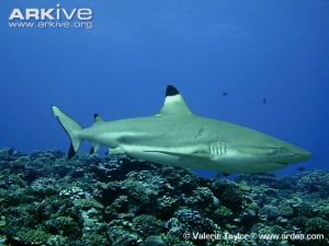 Female-blacktip-reef-shark-with-mating-scars Valerie Taylor Arkive