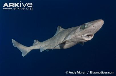 Gulper-shark-swimming-with-mouth-open Andy Murch Arkive