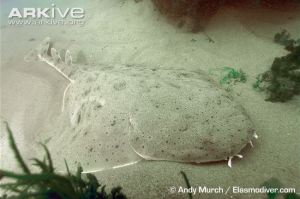 Pacific-angel-shark-on-seabed Andy Murch ARKIVE