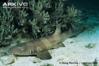 Juvenile-brownbanded-bamboo-shark-bands-starting-to-fade Doug Perrine