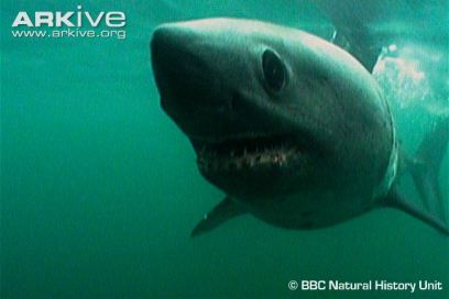 Salmon-shark- @BBC Natural History Unit Arkive