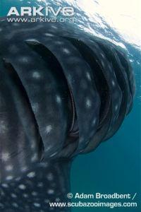 Whale-shark-gills Adam Broadbent Arkive