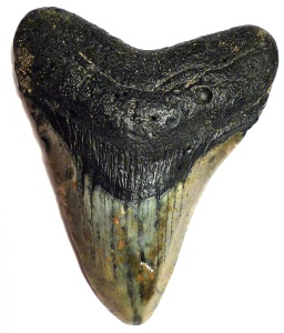 Megalodon tooth Cory Doctorow