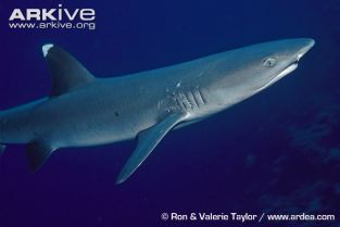 Female-whitetip-reef-shark-showing-mating-scars Ron and Valerie Taylor Arkive