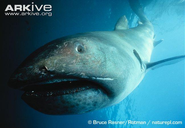 Megamouth-shark Bruce Rasner Rotman Arkive