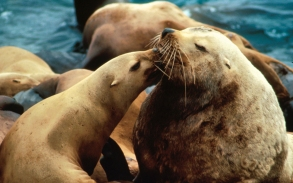 Sea lions getting snuggly