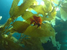 Garibaldi in Giant kelp